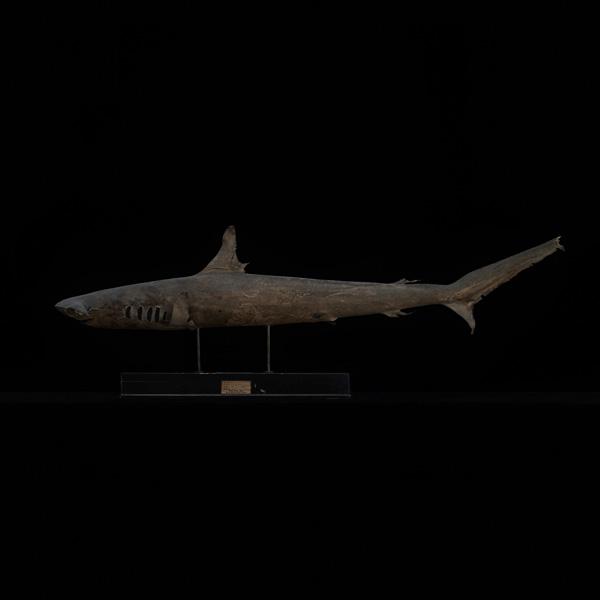 展示会,撮影,リース,レンタル,貸し出し,アンティーク,剥製,魚,シュモクザメ,標本,鮫