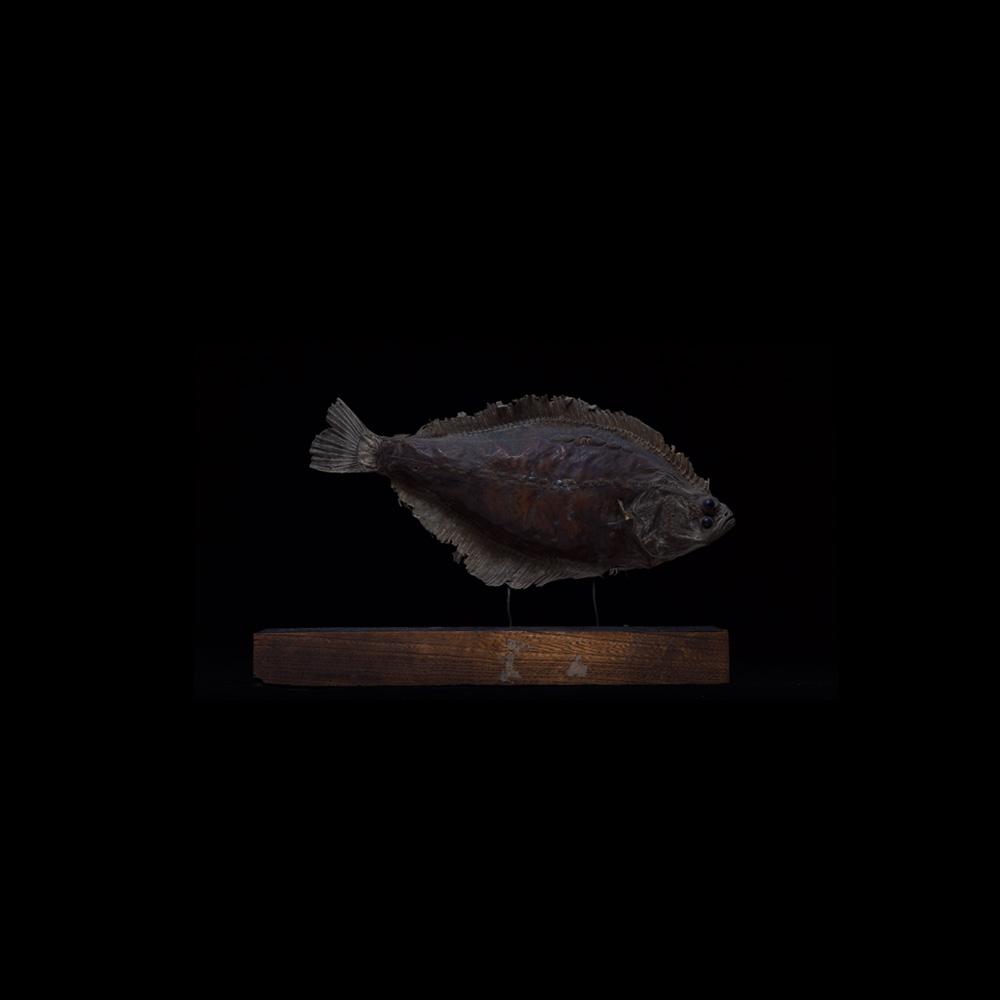 展示会,撮影,リース,レンタル,貸し出し,アンティーク,剥製,マガレイ,標本,鯨,カレイ,魚,鰈