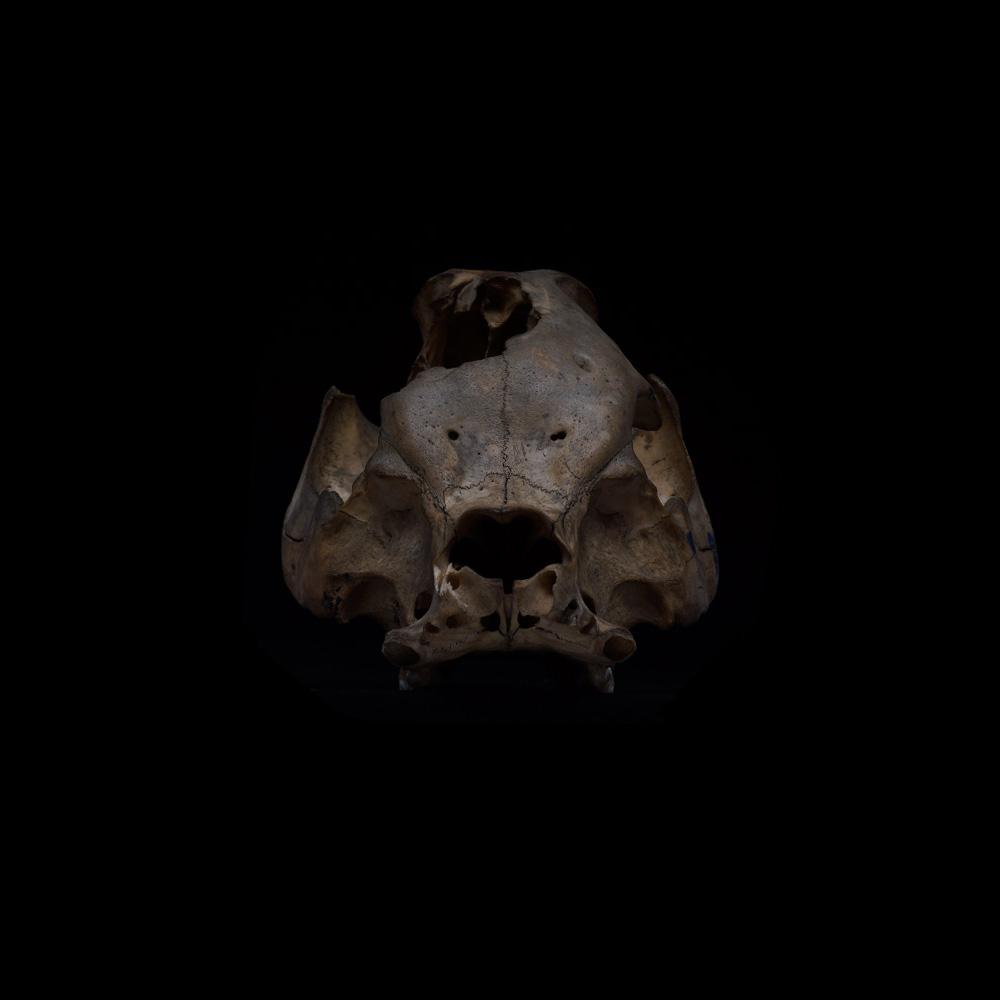 展示会,撮影,リース,レンタル,貸し出し,アンティーク,剥製,動物,標本,骨格標本,骨格,ブタ,豚