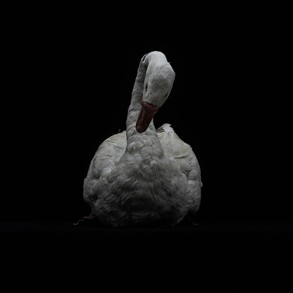 展示会,撮影,リース,レンタル,貸し出し,アンティーク,剥製,ガチョウ,白,鳥,白鳥